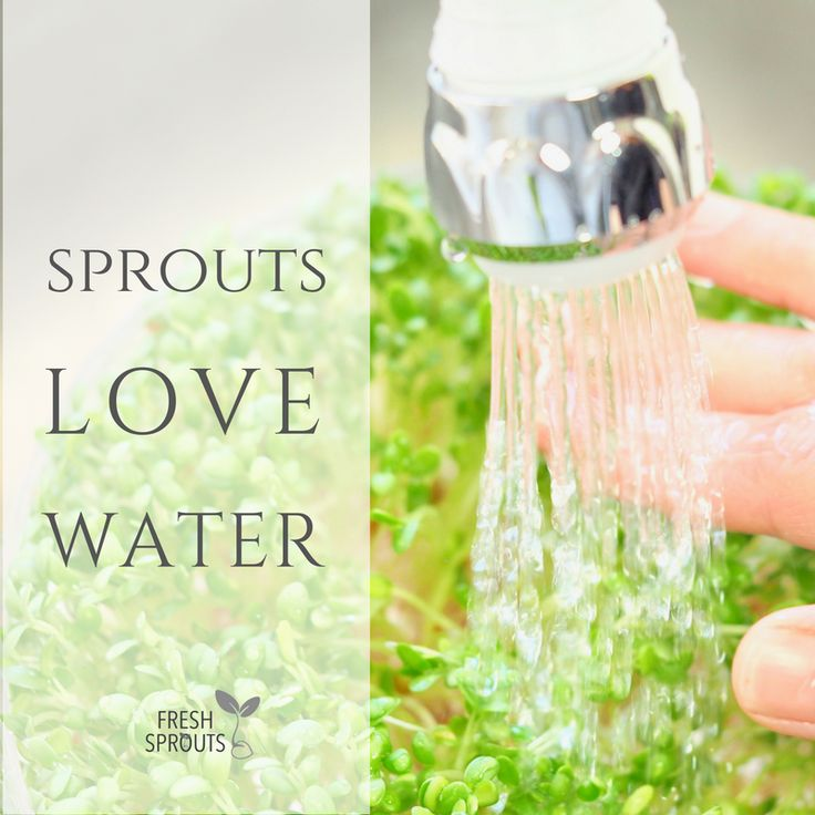 See how easy it is to grow your own sprouts. All you need is water, seeds and a sprouter http://freshsprouts.dk/how #sprouts #freshsprouts #growyourownsprouts #sprouting
