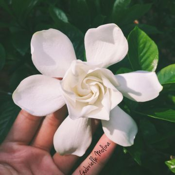 Gardenia  Photographed in St. Augustine, Florida. Visit ReadFromReality.com for more photography