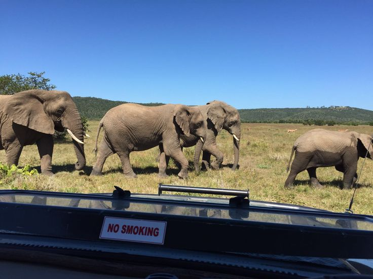 Elephants crossing in-front of the game vehicle at Sibuya Game Reserve near Kenton on Sea, Eastern Cape, South Africa www.sibuya.co.za