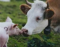 Just got my wisdom teeth taken out today so I'm in a lot of pain. This picture of a cow and a pig kissing really cheered me up and I thought it might cheer some of you guys up too! :)