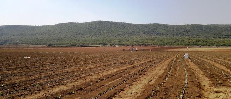 semina dei... pomodori? Gargano 2012