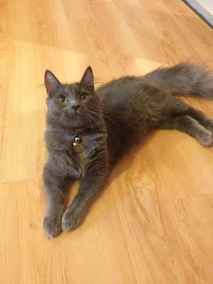 Tommy, a one year old blue medium hair boy~ very loving and cheerful~