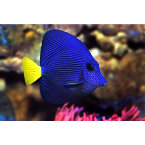 30 best images about reef inhabitants on pinterest for Purple saltwater fish