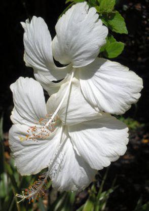 Hibisco branco