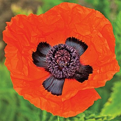 prince-orange-poppy.jpg (400×400)