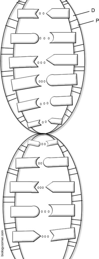 dna the double helix coloring worksheet dna pinterest dna. Black Bedroom Furniture Sets. Home Design Ideas