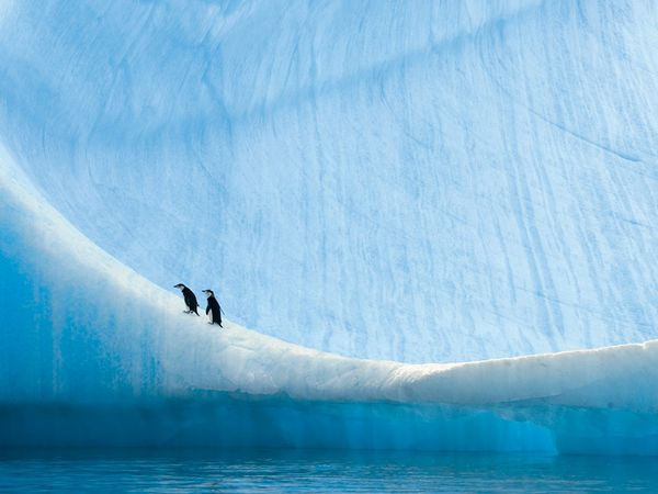 Young chinstrap penguins rest on an iceberg near Anvers Island, Antarctica.