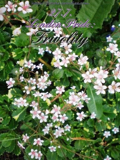 Frivolity is a stern taskmaster. — Bill Griffith — #FlorasDial #Floriology #Flower #Meaning #LondonPride #Frivolity #FlorasDial0727