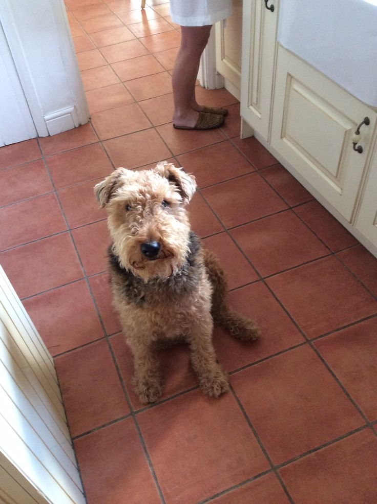 No more biscuits ! (With images) Airedale terrier