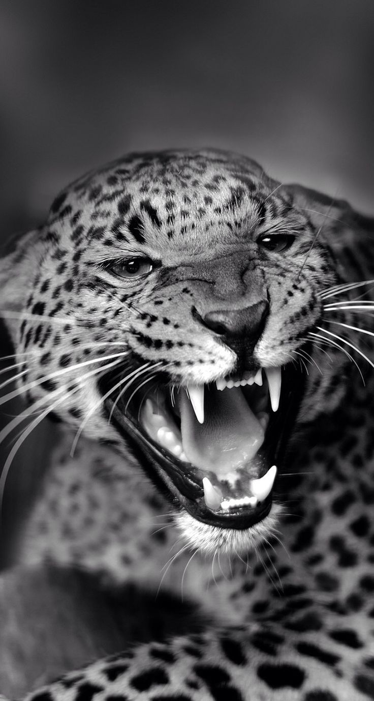 !!TAP AND GET THE FREE APP! Animals Unicolor Roar Leopard Grey Fangs Danger Cat HD iPhone 5 Wallpaper