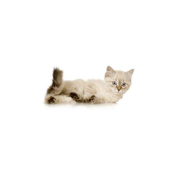 (Burman) Birman Kittens For Sale   Birman Cats For Sale   Birman Cat... ❤ liked on Polyvore