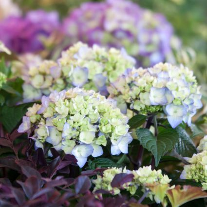 Endless Summer Bloomstruck Hydrangea multiple blooms