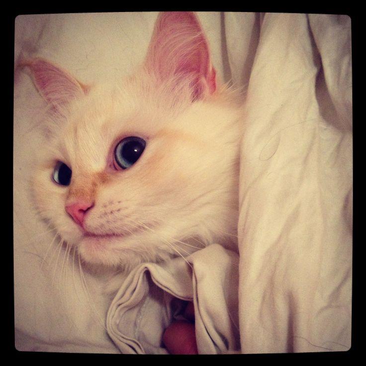 Dior #siberiancat #cat #dior