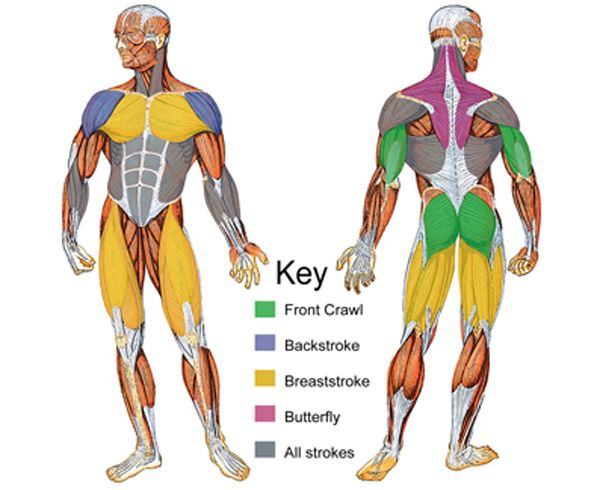 Color-coded graphic showing the specific muscle groups used to swim each stroke.