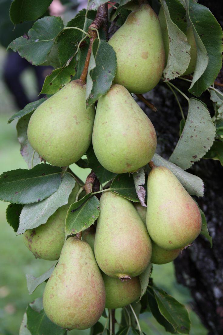 Vackra goda päron