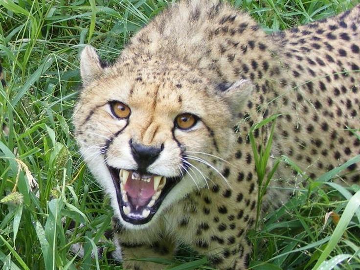 Cheetah teeth! Askari Big cat sightings Pinterest