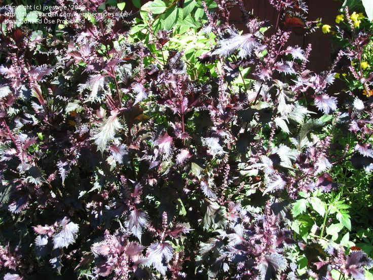 75 best Weeds Poisonous Invasive Bad Reps images on Pinterest