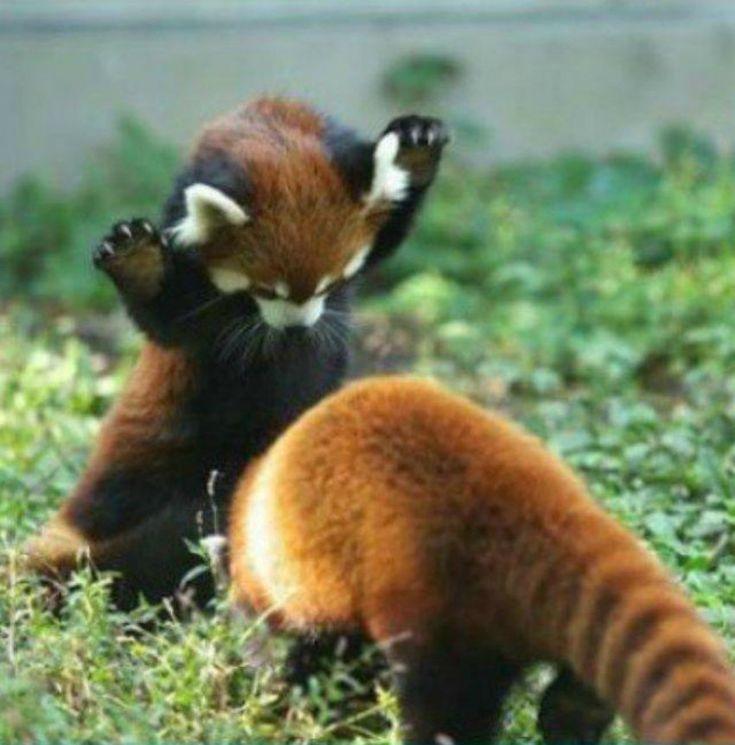 red pandas I'm gonna getcha!