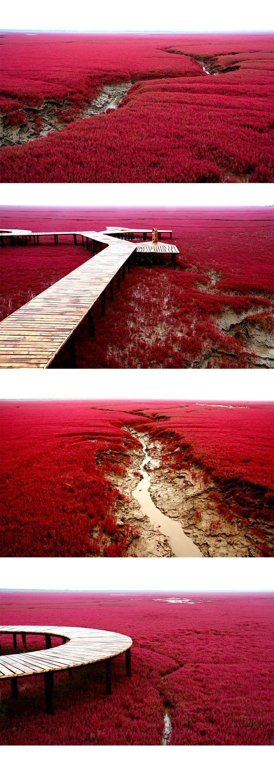 """Red Beach in Panjin, China. The weed start grow during April or May in green of summer. In autumn, this weed turns flaming red. Some of them name it as """"Red Carpet"""""""