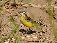 Western Yellow Wagtail - Wikipedia, the free encyclopedia