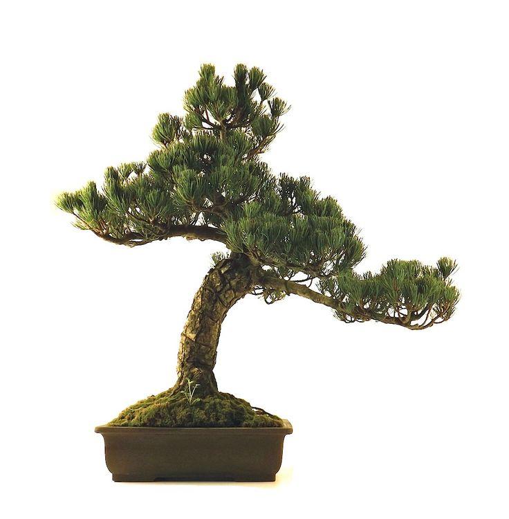 les 222 meilleures images du tableau bonsai sur pinterest achat vente acheter bonsa et. Black Bedroom Furniture Sets. Home Design Ideas