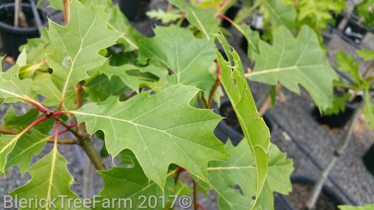 Quercus rubra – Red Oak – Purchase Bare Rooted Trees Online