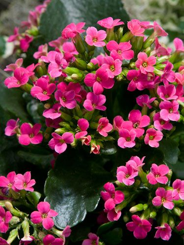 The kalanchoe may be the easiest to keep up, yet prettiest plant you'll ever have.