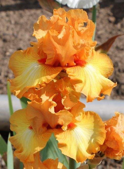 TB Iris germanica 'Great Balls of Fire' (Aitken, 2011)