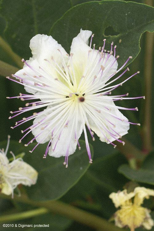 Capparis sicula ssp. sicula