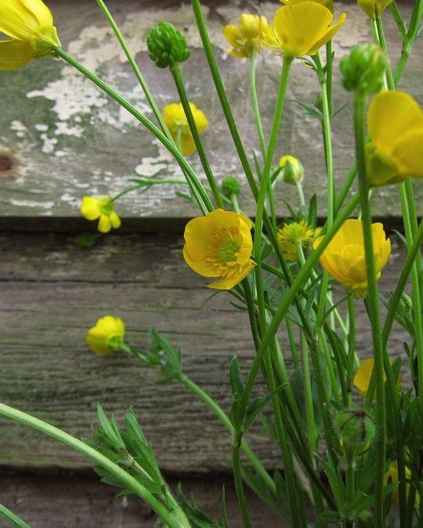 Buttercups Ranunculus Acris In 2020 Wildwood Flower Trees To Plant Wild Flowers