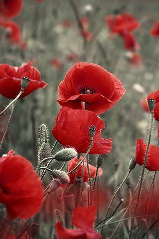 Les coquelicots, fleurs qui me rappellent toujours les champs au nord de la France #theyshallgrownnotold