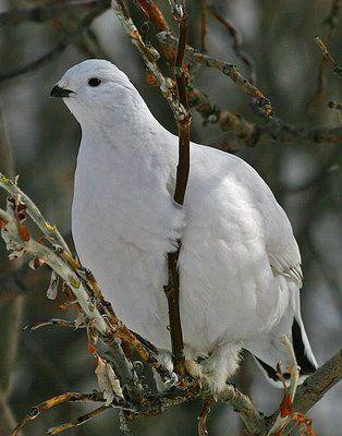 Alaska State Bird: Willow Ptarmigan