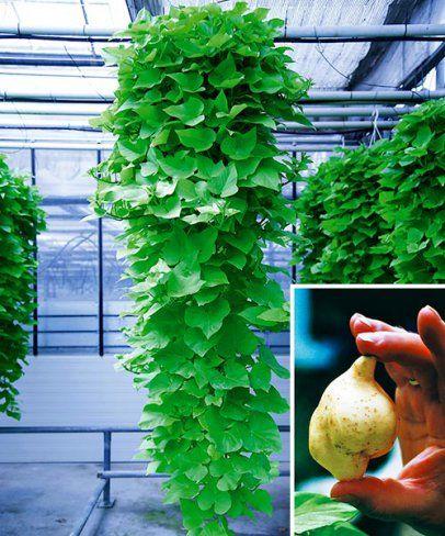 Azték borostyán, Ipomea batatas 'Margerita'
