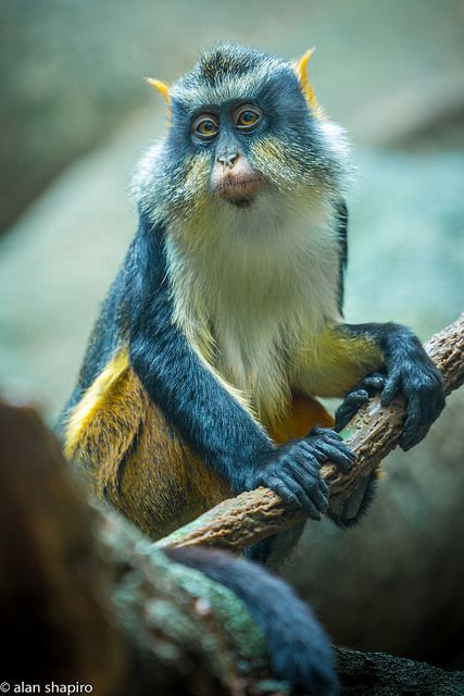 The Wolf's mona monkey (Cercopithecus wolfi), also called Wolf's guenon, is a colorful Old World monkey in the Cercopithecidae family. It is found in central Africa, primarily between the Democratic Republic of the Congo and Uganda. It lives in primary and secondary lowland rainforest and swamp forest.