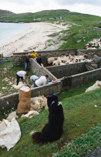 Shearing sheep, Hushinish, Scotland.