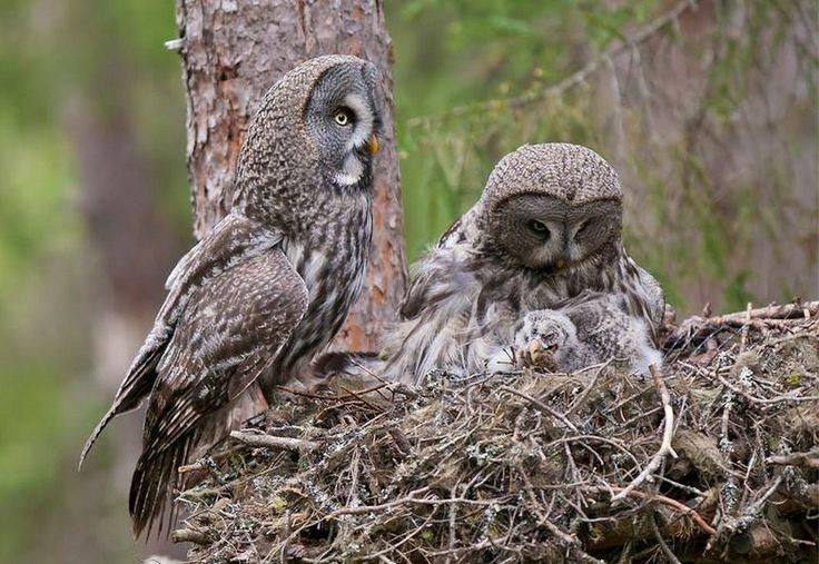 great grey owls (Strix nebulosa)