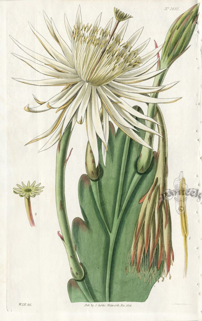 Antique Prints from Curtis, cactus, botanical illustration.
