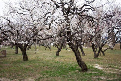 Plum 弘道館公園のウメ kodokan plum ウメ 梅 弘道館公園 水戸 mito prunusmume バラ科 rosaceae 春 spring flower plant