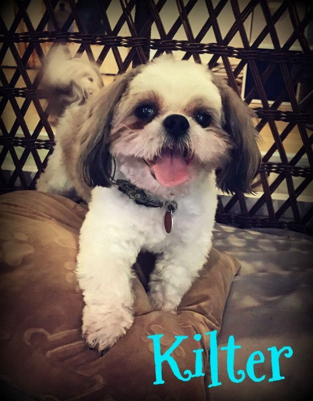 Meet Kilter A Dog At Arizona Shih Tzu And Small Breed Rescue On Petfinder Shih Tzu Dogs Small Breed