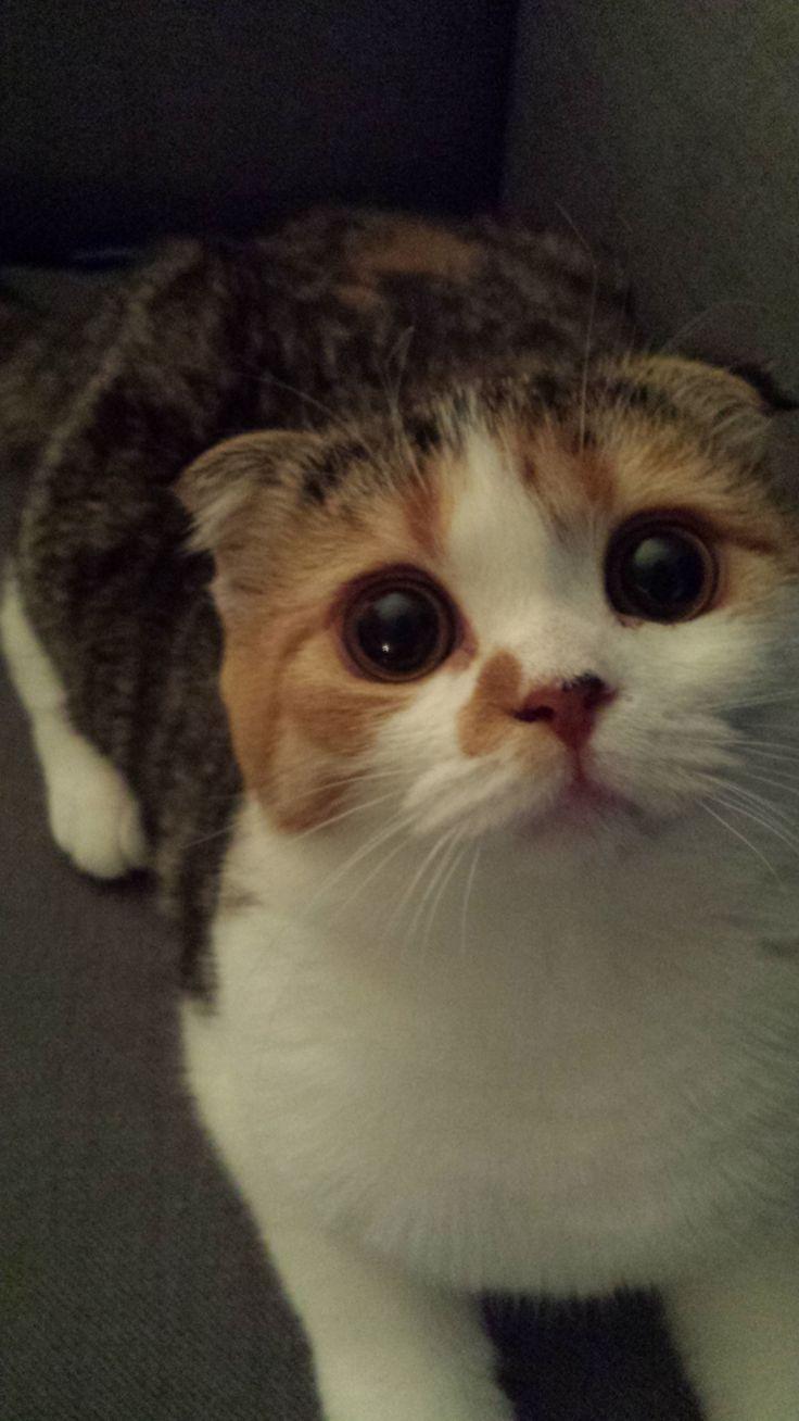 ༼ つ ◕_◕ ༽つ MOLLY-Scottish Fold kitten ༼ つ ◕_◕ ༽つ   * I love the faces on these cats for some reason