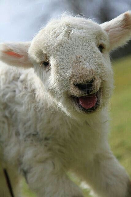 how to get a baby lamb to come to you