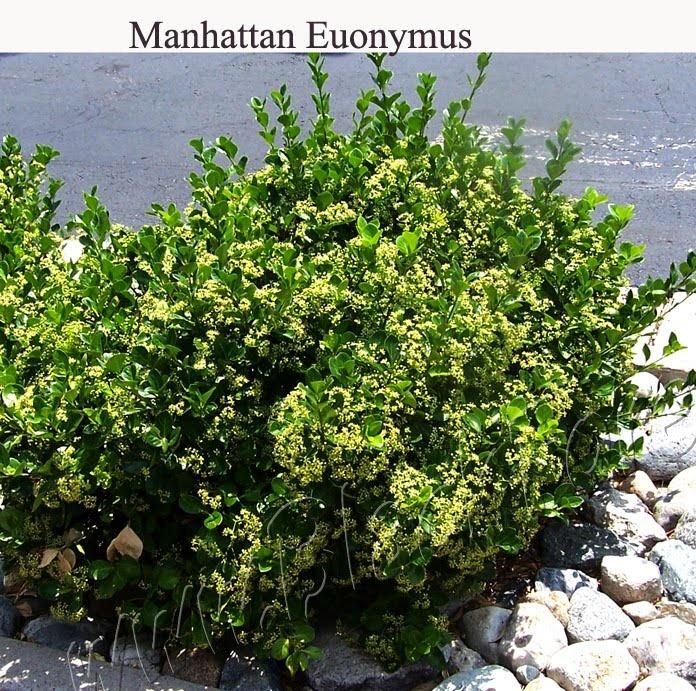 manhattan euonymus zone 6 garden pinterest manhattan and shrub. Black Bedroom Furniture Sets. Home Design Ideas