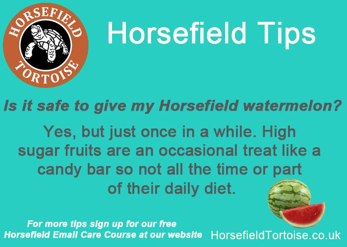 Do you feed your Horsefield tortoise watermelon?  COMMENT BELOW!