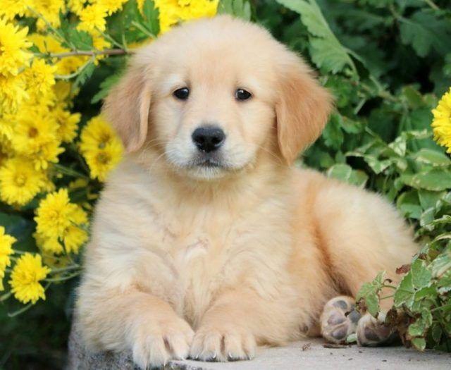 Golden Retriever Puppies For Sale Puppy Adoption Keystone Puppies In 2020 Puppy Adoption Puppies For Sale Golden Retriever