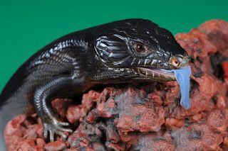 El lagarto negro de lengua azul