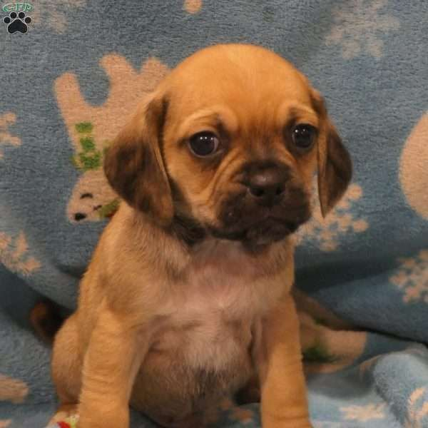 Dakota Puggle Puppy For Sale In Pennsylvania Puggle Puppies