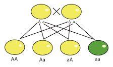 2.ª ley de Mendel: Ley de la segregación de los caracteres en la segunda generación filial. Esta ley establece que durante la formación de los gametos, cada alelo de un par se separa del otro miembro para determinar la constitución genética del gameto filial.