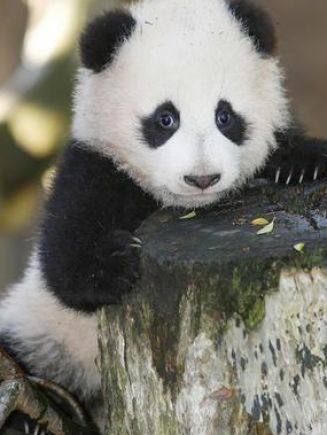 Giant Panda Bears | Giant panda bear cubs pictures 2