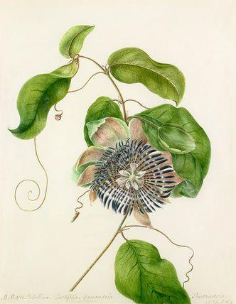 Margaret Meen -- 'Passiflora. Lautifolia. Gynandria' -- Margaret Meen -- Artists -- RHS Prints