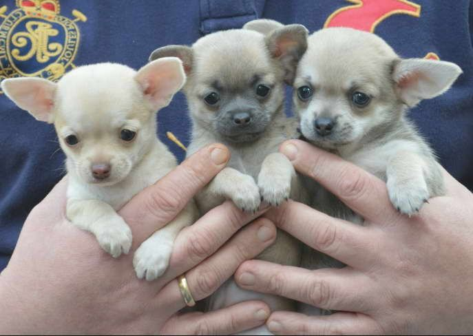 Chihuahua Breeders Bay Area Free Puppy Free Puppies Chihuahua